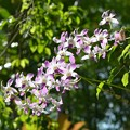 写真: Dendrobium 6-3-18