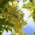 写真: White Shower Tree I 6-3-18