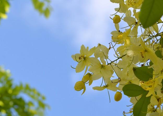 写真: White Shower Tree II 6-3-18