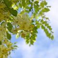 White Shower Tree III 6-3-18