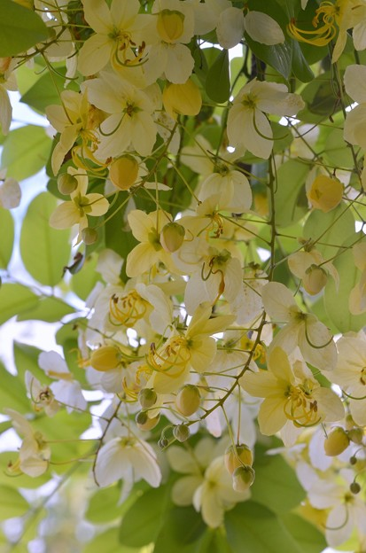 White Shower Tree V 6-3-18