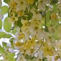 写真: White Shower Tree V 6-3-18