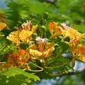 Yellow Royal Poinciana II 6-3-18