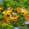 写真: Yellow Royal Poinciana II 6-3-18