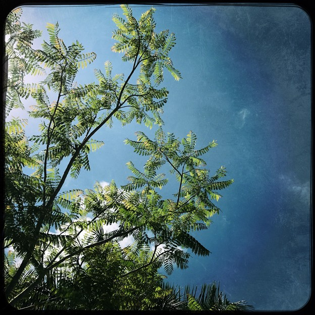 写真: Jacaranda and the Sky 6-3-18