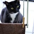 写真: (モノコンスピンオフ)洗濯物を干す猫
