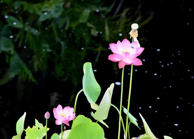 Tiny Lotus Flowers 6-17-18