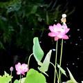 写真: Tiny Lotus Flowers 6-17-18