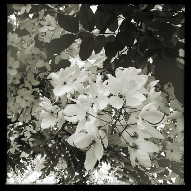 写真: White Shower Tree III 6-17-18