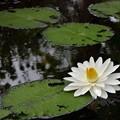 写真: Water Lily II 6-17-18
