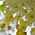 写真: White Shower Tree I 6-17-18