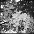 White Shower Tree IV 6-17-18