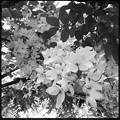 写真: White Shower Tree IV 6-17-18