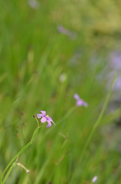 Photos: Blue-Eyed Grass I 6-17-18