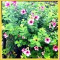 写真: Allamanda Cherries Jubilee II 6-17-18