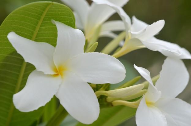 Plumeria bahamensis I 6-17-18