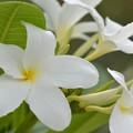 写真: Plumeria bahamensis I 6-17-18