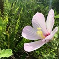 Hibiscus grandiflorus 6-17-18