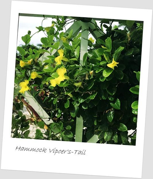 Photos: Hammock Viper's-Tail 6-17-18