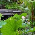 写真: Lotus Pond I 7-1-18