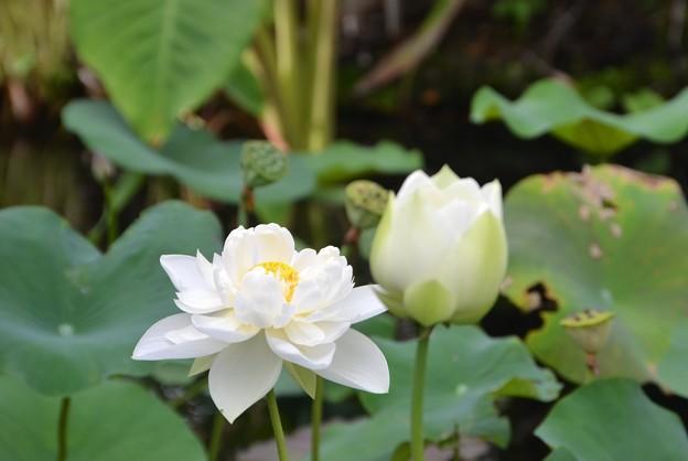 White Lotus IV 7-1-18