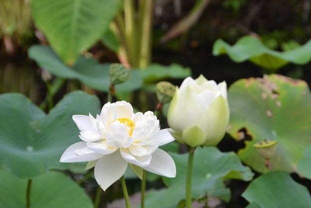 写真: White Lotus IV 7-1-18