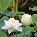 写真: White Lotus IV 7-1-18