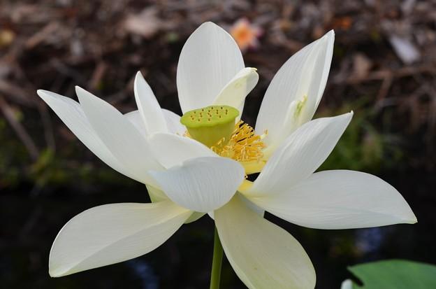 Sacred Lotus III 7-1-18