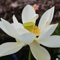 写真: Sacred Lotus III 7-1-18