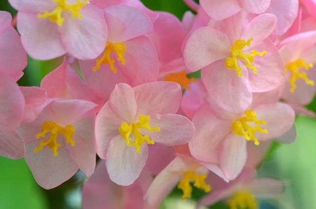 Angel Wing Begonia I 7-1-18