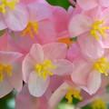 写真: Angel Wing Begonia I 7-1-18
