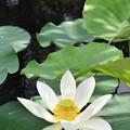 写真: Sacred Lotus IV 7-1-18