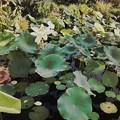 写真: Sacred Lotus_i7_Hipstamatic351_9-1-18