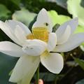 写真: Sacred Lotus I 9-1-18