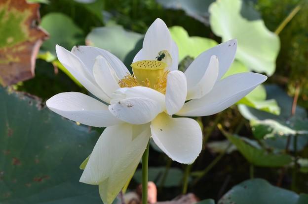 Sacred Lotus II 9-1-18