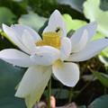 Photos: Sacred Lotus II 9-1-18