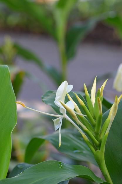 Hedychium x Giant Hybrid Yellow 9-1-18
