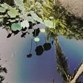 写真: Lotus in the Reflections I 9-1-18
