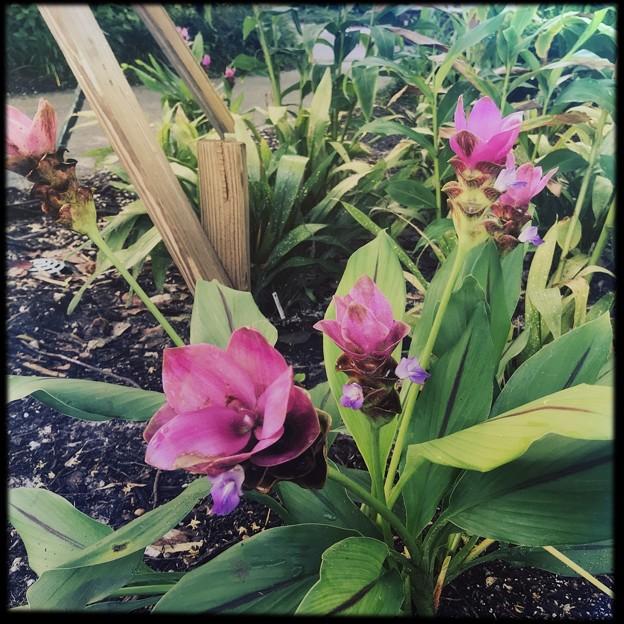 Siam Tulip III 9-1-18