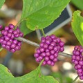 American Beautyberry II 9-1-18