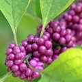 写真: American Beautyberry I 9-1-18