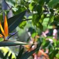 Bird of Paradise II 9-1-18