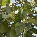 写真: Sea Grapes II 9-1-18