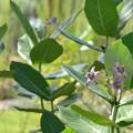 Photos: Calotropis gigantea 9-1-18