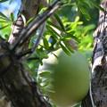 Mexican Carabush 9-15-18