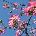 写真: Silk Floss Tree II 9-15-18