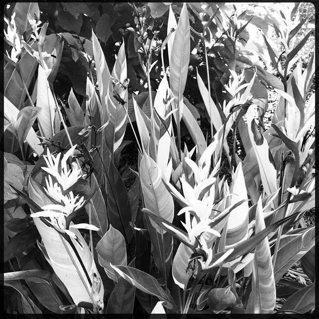 Heliconia psittacorum 'Lady Di' 9-15-18