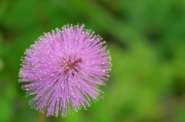 Sunshine Mimosa II 9-15-18