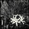 写真: Swamp Lily 9-15-18