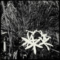 Swamp Lily 9-15-18